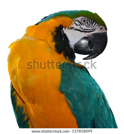 Isolated Blue and Gold Macaw.Beautiful Parrot
