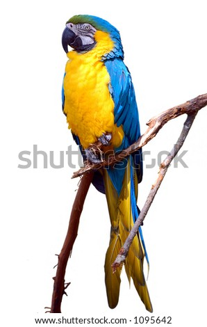 Isolated Blue and Yellow Macaw - stock photo