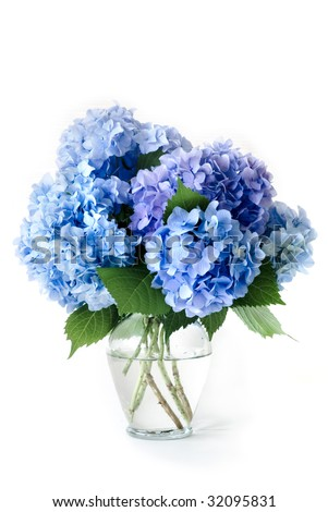 Isolated Blue Hydrangea Flowers In Glass Vase - stock photo