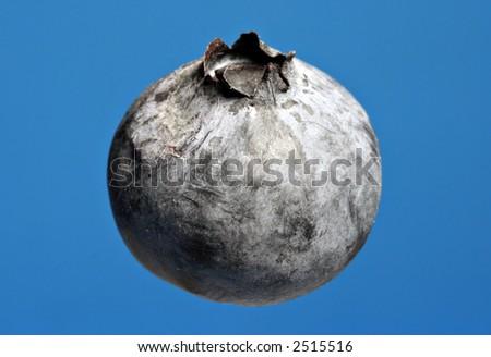 isolated blueberry - nice blue background - stock photo