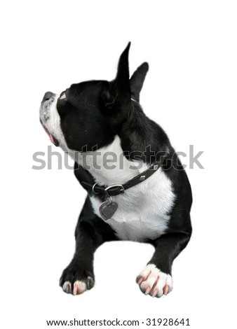 Isolated Boston Terrier looking up sideways. - stock photo