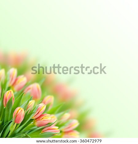 Isolated Bouquet of pink tulips on the blur background