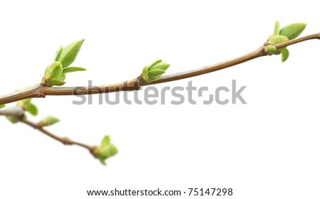 Isolated branch and buds. Nature design. - stock photo