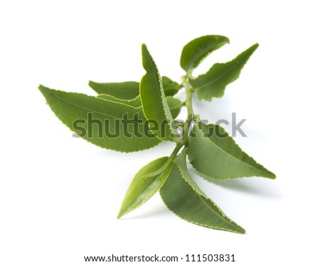 Isolated branch of fresh green tea - stock photo