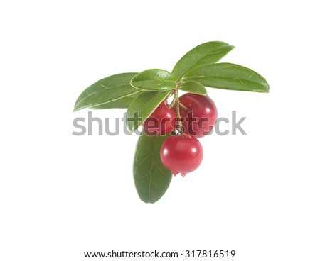 Isolated branch of red cowberry on the white