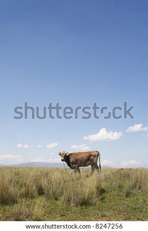 isolated brave brown cow in a yard staring at a camera - stock photo