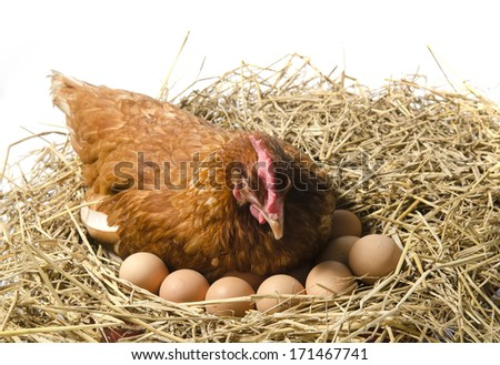 Isolated brown hen with egg in the studio - stock photo