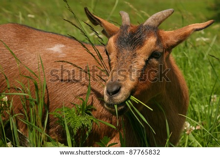 Isolated brown mountain goat - stock photo