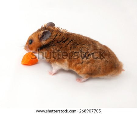 Isolated Brown Syrian hamster on a white background  eats carrots - stock photo
