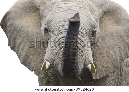 Isolated bull elephant smelling air. - stock photo