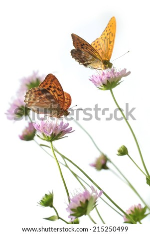 Isolated butterflies - Silver-washed Fritillary (Argynnis paphia) - stock photo