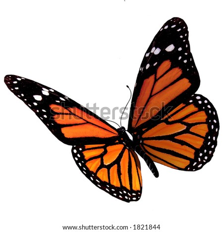 Isolated Butterfly - stock photo