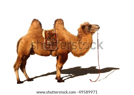 Isolated camel in white background - stock photo
