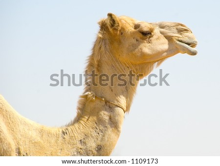 Isolated camel neck and head profile in color - stock photo