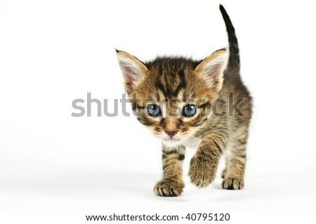 Isolated cat on white background. - stock photo