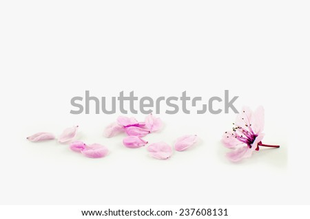 Isolated cherry flower leaves - stock photo