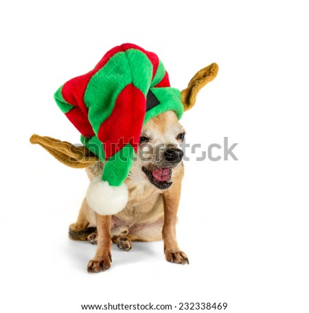 isolated chihuahua sitting with santa hat with shallow depth of field