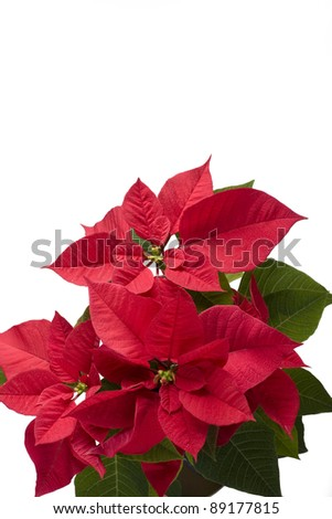 isolated christmas flower