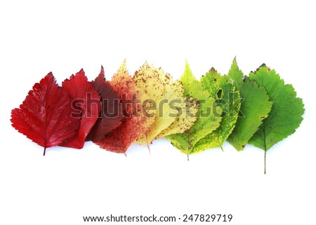 isolated close-up colorful autumn leaves folded in a row on a white background
