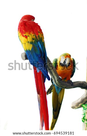 isolated closeup of Golden Red Macaw Bird