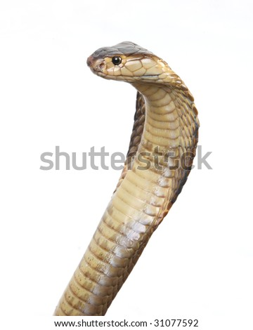 isolated cobra on white - stock photo
