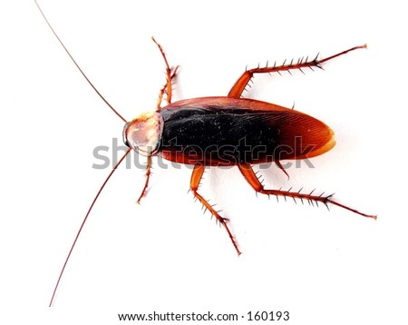 isolated cockroach - stock photo