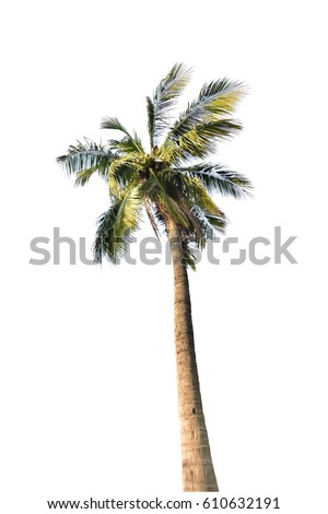 isolated coconut palm tree on white background