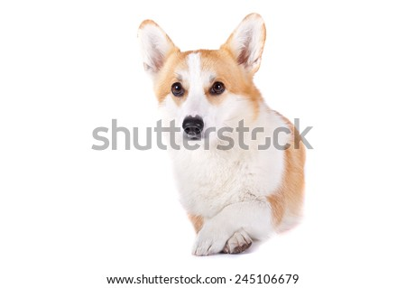 isolated coquet dog lying on white background with paw on her paw