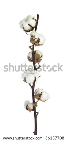 Isolated cotton flowers on a branch