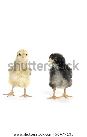 Isolated couple little chicken - stock photo