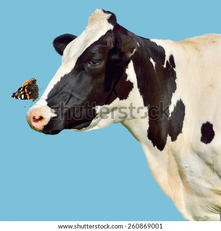 isolated cow with butterfly on her nose - stock photo