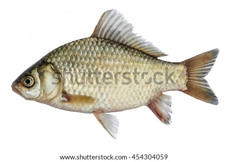Isolated crucian carp, a kind of fish from the side. Live fish with flowing fins. River fish