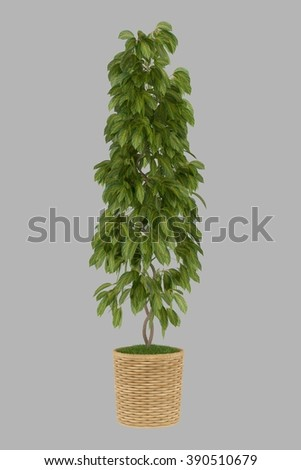 isolated 3d render bonsai big leaf plant with alpha channel