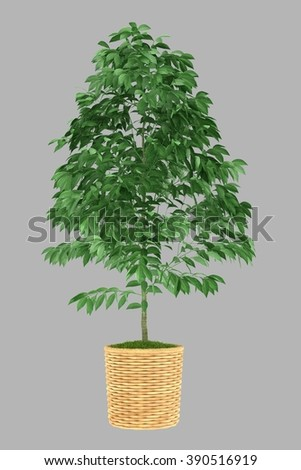 isolated 3d rendered bonsai big leaf plant in wooden pot  with alpha channel