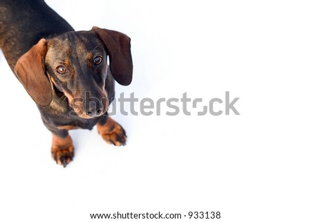 Isolated dachshund. Lots of space for copy . - stock photo