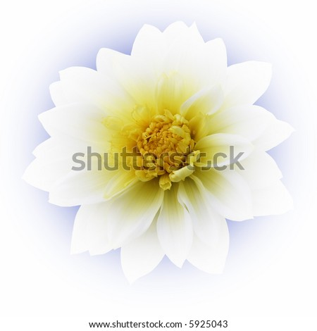 Isolated dahlia flower - stock photo