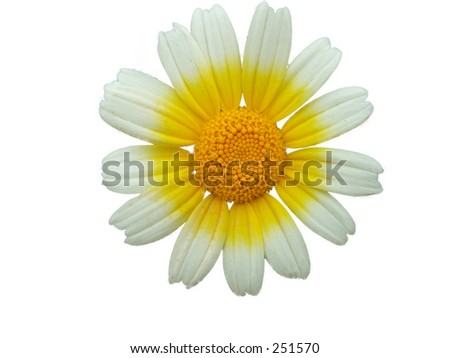 isolated daisy flower against white background