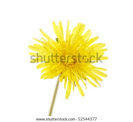 isolated dandelion flower with long stem