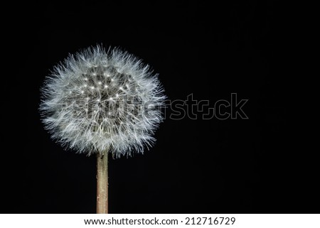 Isolated Dandelion seed head on a black background - stock photo