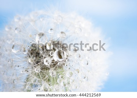 Isolated dandelion with dew on blue sky background. Close-up of dewdrop on the head of dandelion. Purity and blooming. - stock photo