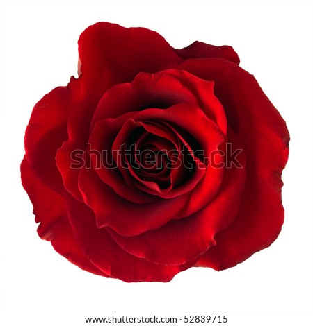 Isolated dark red rose. - stock photo