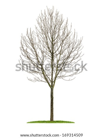isolated deciduous tree in the winter - stock photo