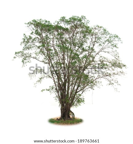 isolated deciduous tree on a white background