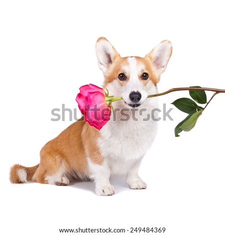 isolated dog hold a flower in her mouth on white background