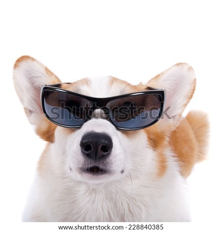 isolated dog in glasses on white background