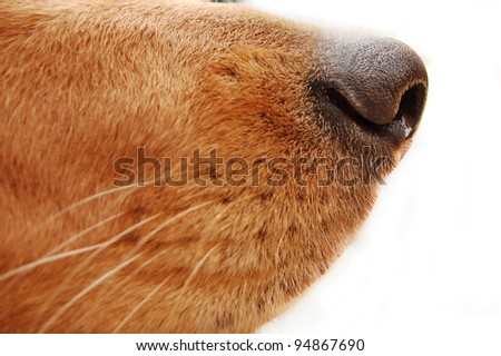 isolated dog's nose close up