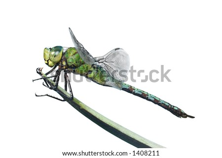 Isolated dragonfly on leaf; species is Anax imperator - stock photo