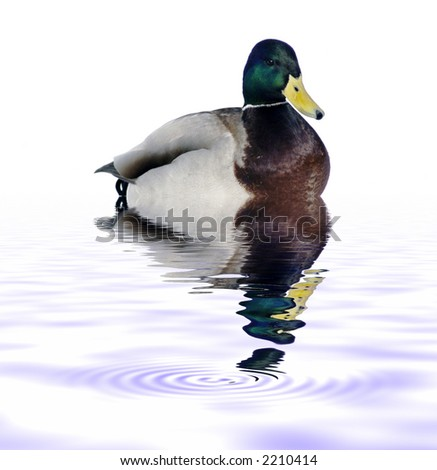 Isolated Duck with reflection on water