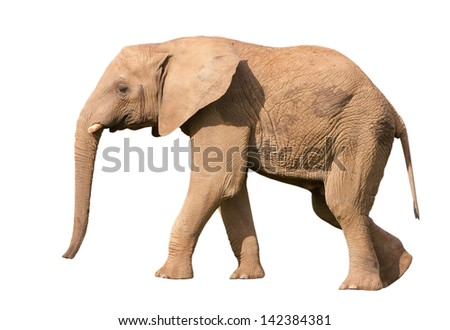 Isolated elephant against a white background - stock photo