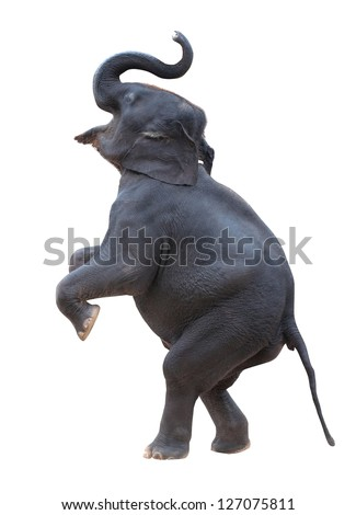 isolated elephant standing with white background - stock photo